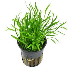 this green thin leave plant grows very well in aquariums