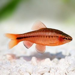 cherry barb in a fish tank