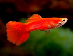 Guppy Chilli Red - Large