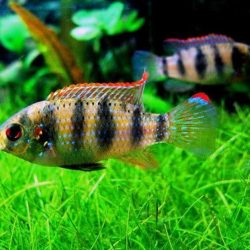 African Butterfly Cichlid - 5 cm