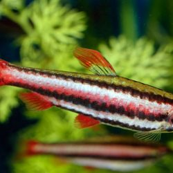 Pencil Fish - RED - 25-30mm
